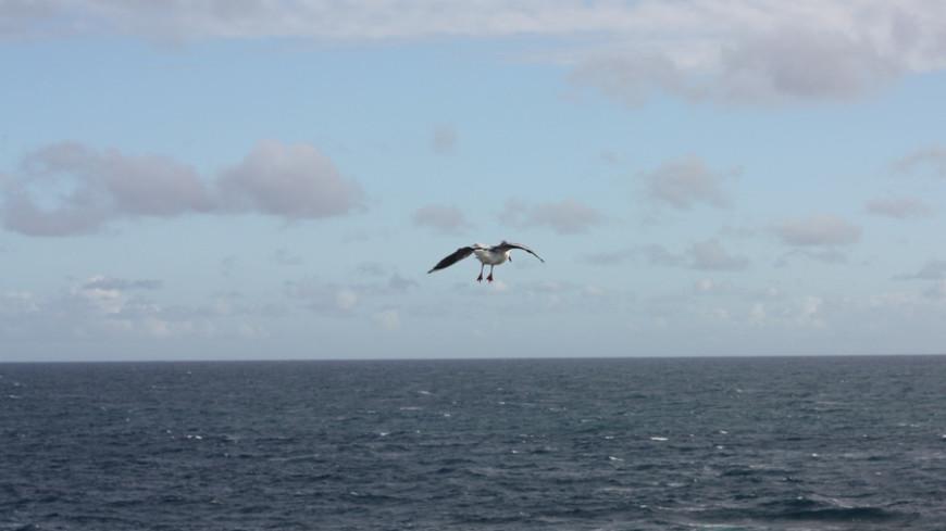 Тепловая «капля» в Тихом океане погубила миллион морских птиц