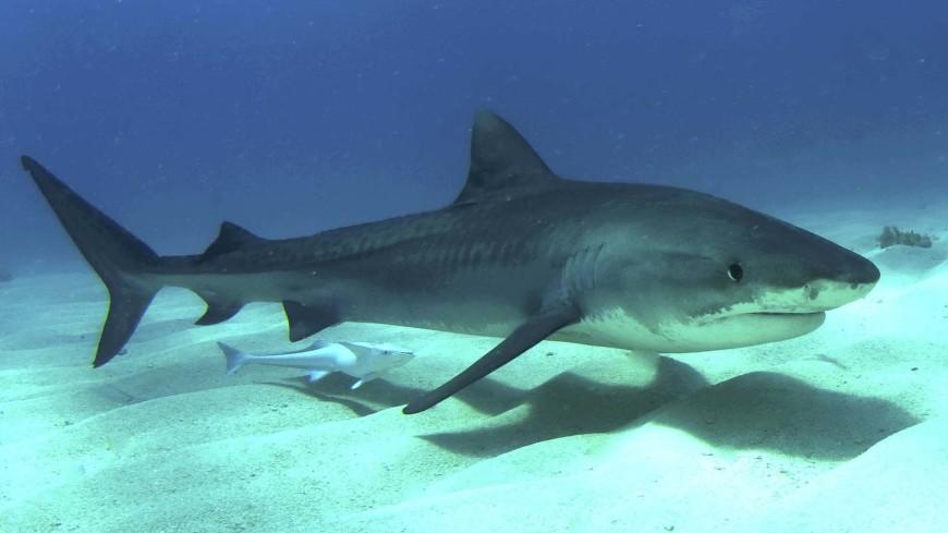 Предки акул лишились цветного зрения полмиллиарда лет назад