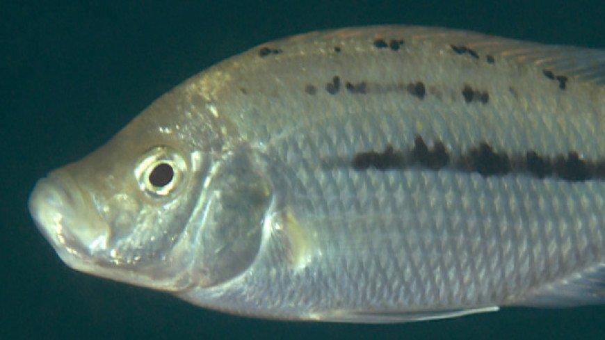 Новый вид африканских рыб назвали в честь злого рождественского духа