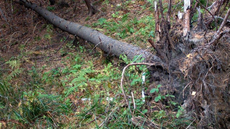 "© Фото: ""Андрей Корыгин, «Мир 24»"":http://mir24.tv/, ураган, упало дерево, дерево"
