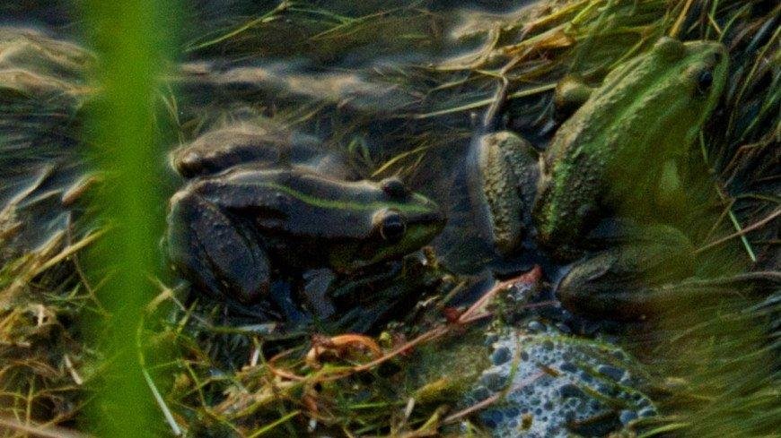 Тайны природы: почему лягушки зеленого цвета