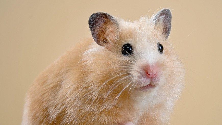 хомяк, грызун, мех, крыса, домашнее животное, питомцы, маленький, животное,