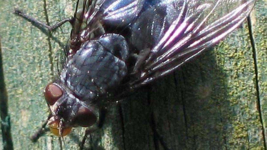 Австралийских мух назвали в честь Тора, Локи, Дэдпула и Черной вдовы