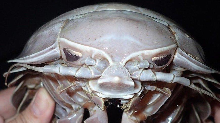 На дне Индийского океана нашли ракообразного «Дарта Вейдера»