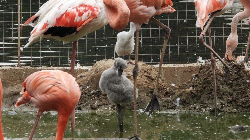 В Московском зоопарке родились пятеро птенцов краснокнижных фламинго