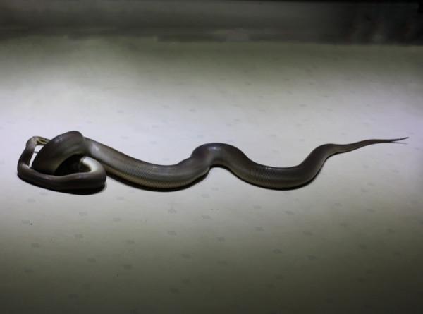 Житель Индии случайно обнаружил в своем кондиционере около 40 змей
