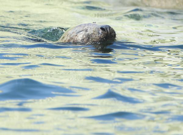 В Финский залив выпустили пятерых спасенных тюленят