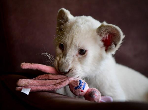 В Испании впервые родился белый львенок