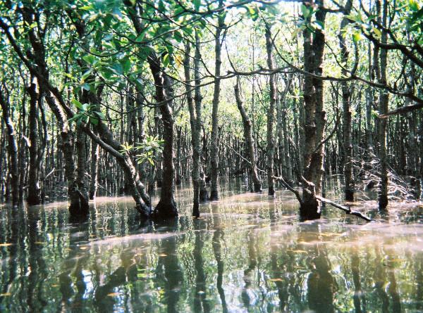 Мангровым лесам предрекли исчезновение к 2050 году