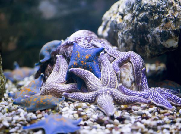 Ученые борются с нашествием морских звезд на гибнущий Большой Барьерный риф