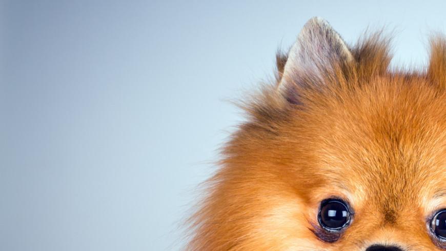 померанский шпиц, шпиц, собака, животное, щенок, пес, маленький, питомец, домашнее животное,