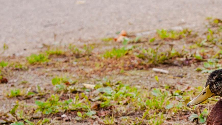 """Фото: Марина Дыкун (МТРК «Мир») """"«Мир 24»"""":http://mir24.tv/, утки, животные, утка"""