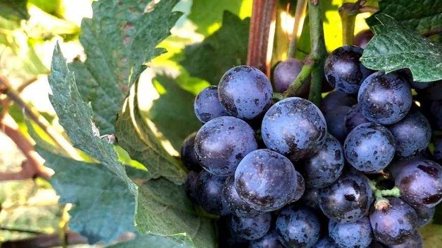 Грузия, Кахетия. Виноград