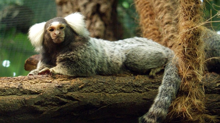 Человеческий ген увеличил объем мозга у обезьян-игрунок