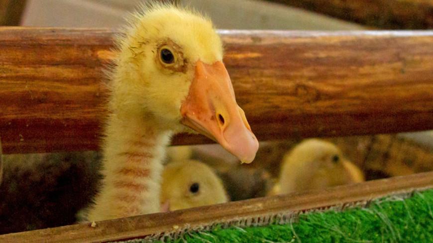 """Фото: (МТРК «Мир») """"«Мир 24»"""":http://mir24.tv/, утята, контактный зоопарк, зоопарк, животные, домашние животные"""