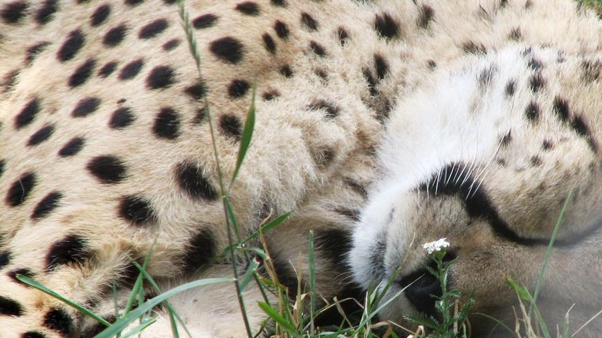 "Фото: Елизавета Шагалова, ""«МИР 24»"":http://mir24.tv/, леопард, гепард"