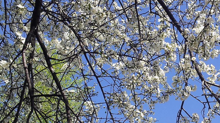 """Фото: Дарья Никишина, """"«Мир 24»"""":http://mir24.tv/, цветение деревьев, весна"""