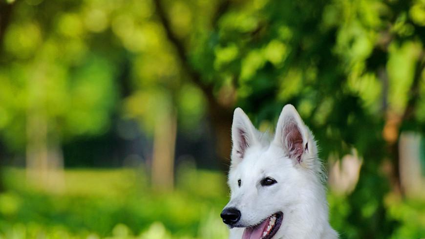 """Фото: Анна Тимошенко (МТРК «Мир») """"«Мир 24»"""":http://mir24.tv/, швейцарская овчарка, животные, собака, собаки, дог фрисби"""