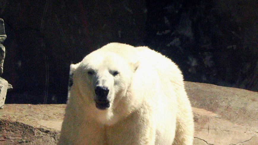 "Фото: Елизавета Шагалова, ""«МИР 24»"":http://mir24.tv/, белый медведь"