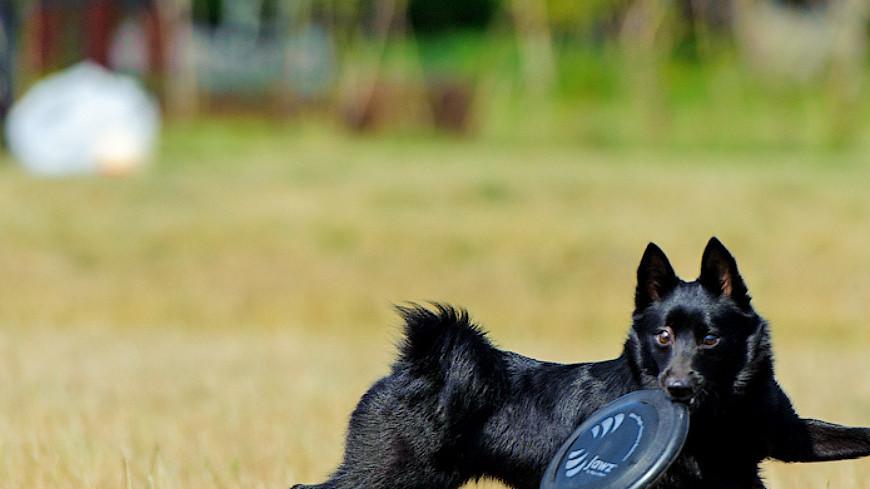 "Фото: Анна Тимошенко (МТРК «Мир») ""«Мир 24»"":http://mir24.tv/, дог фрисби, животные, собака, собаки, шипперке"