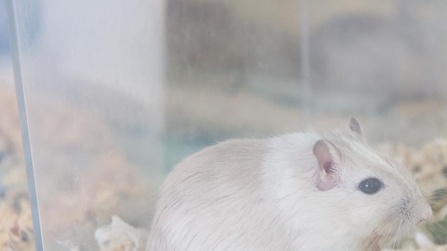 """Фото: Анна Тимошенко (МТРК «Мир») """"«Мир 24»"""":http://mir24.tv/, мыши, животные, домашние животные, песчанки"""