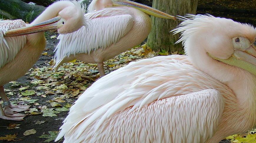 В Санкт-Петербурге заметили редкого розового пеликана