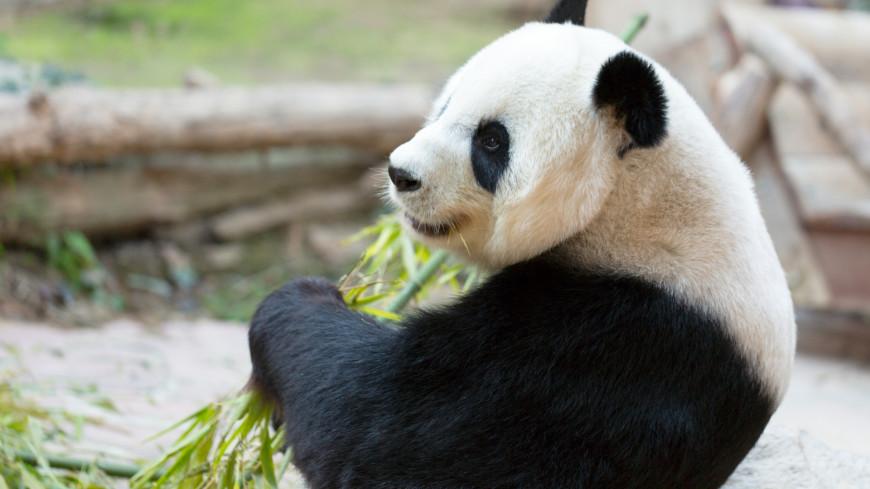 Панда Жуи из Московского зоопарка начал интересоваться своей соседкой Диндин
