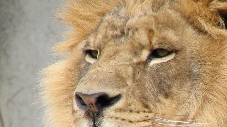 Львы в ЮАР во время охоты используют машины туристов в качестве прикрытия