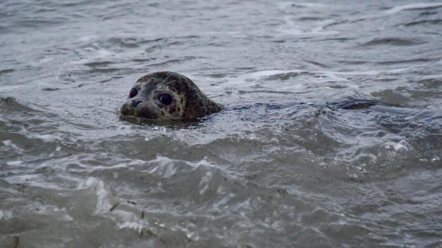 Еще две спасенные балтийские нерпы после реабилитации отпущены в море