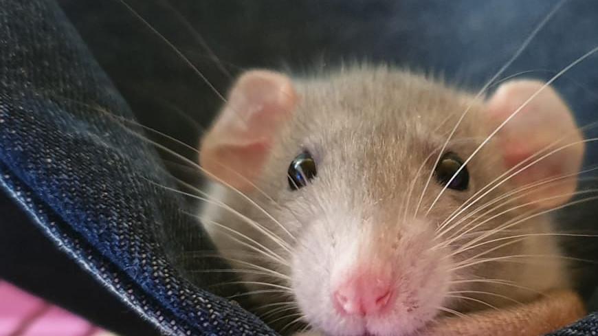 животное,хомяк, щеки, клетка, грызун, зерно, мышь,