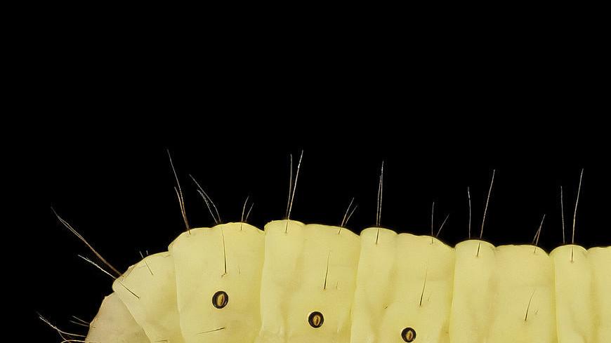 Восковые черви оказались способны есть пластик и производить спирт