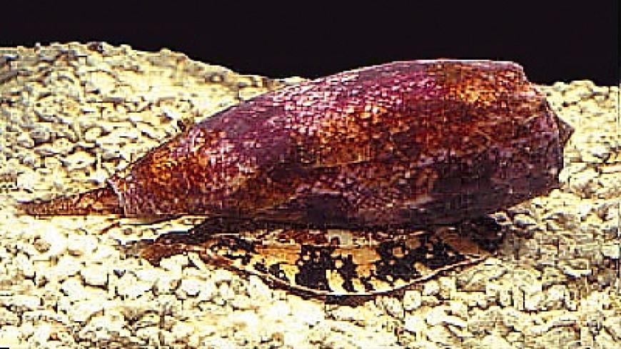 В яде морской улитки нашли средство от диабета I типа