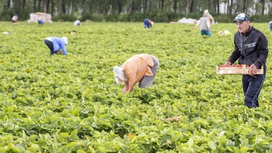Как выращивают клубнику и землянику,клубника, земляника, ферма, совхоз, грядка, ягода, огород,клубника, земляника, ферма, совхоз, грядка, ягода, огород