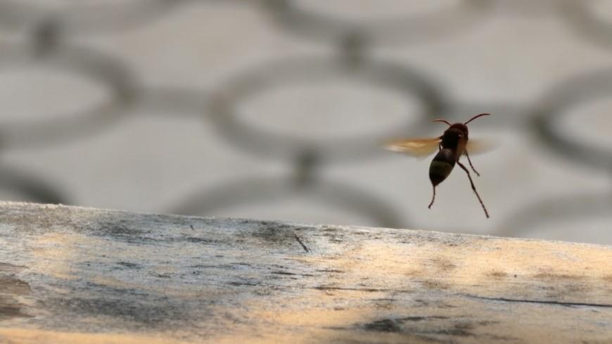 Оса в полете,оса, пчела, насекомое,