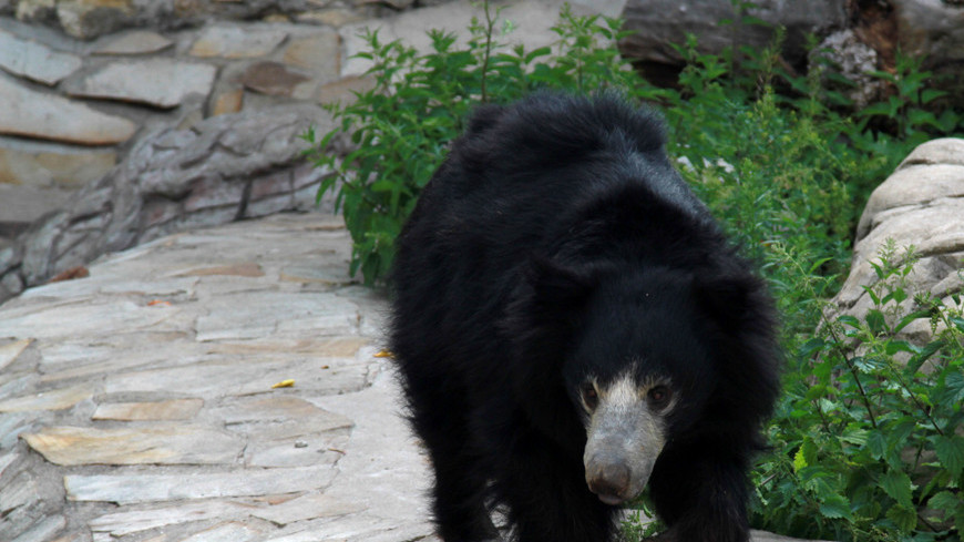 Медведь бурый, медведь