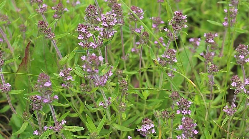 Трава-лекарь: ученые назвали растение от 50 недугов