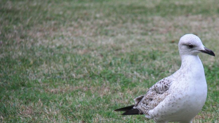 Чайка, чайки на траве, птица, птицы, чайка