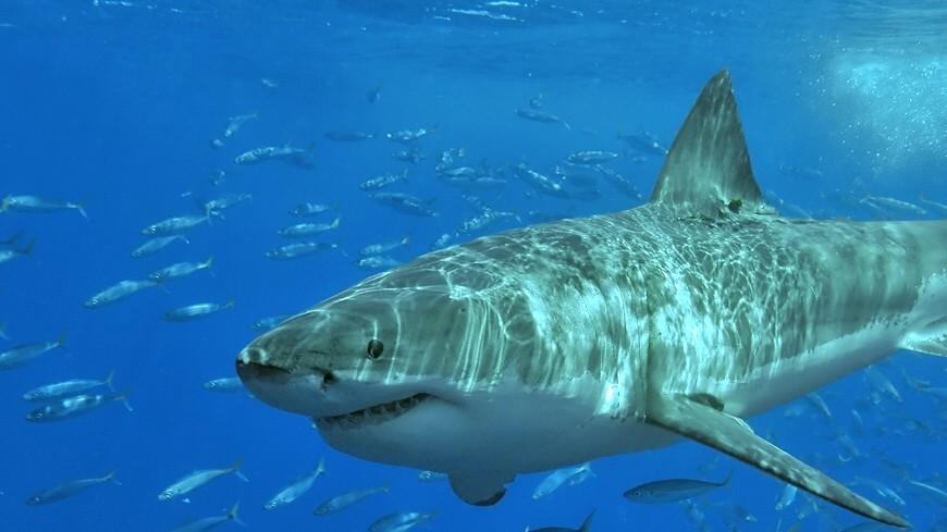 Смертельная схватка: видео боя двух белых акул поразило Cеть