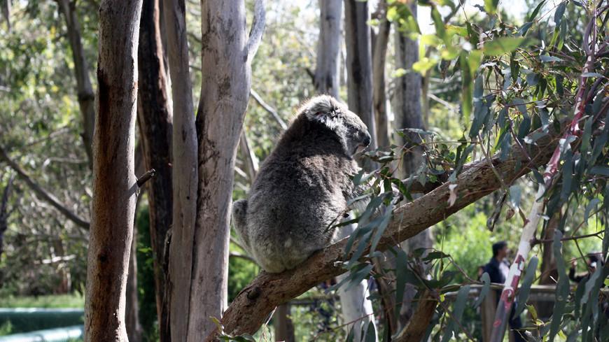 "Фото: Елена Карташова, ""«МИР 24»"":http://mir24.tv/, коала, австралия"
