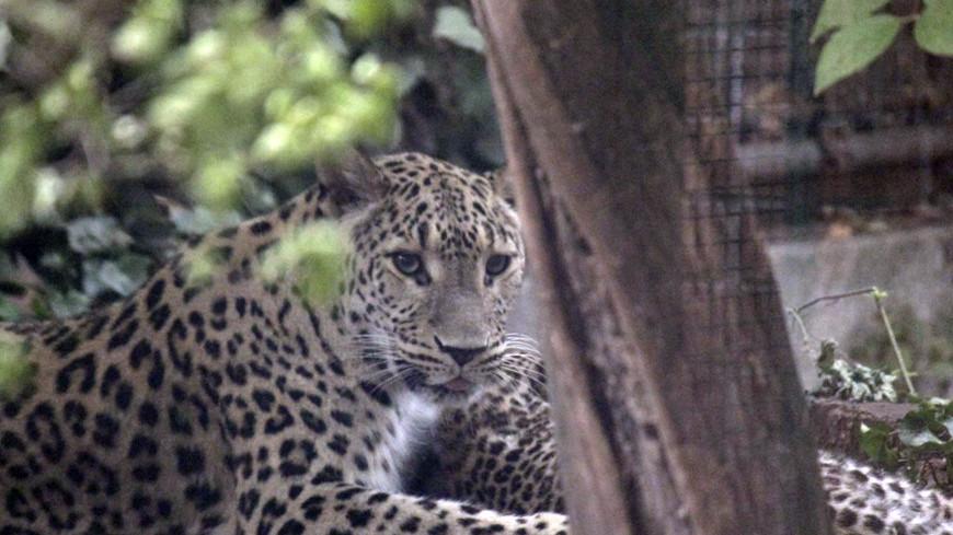 "© Фото: ""Александр Попов, «МИР 24»"":http://mir24.tv/, леопард, зоопарк, животные"