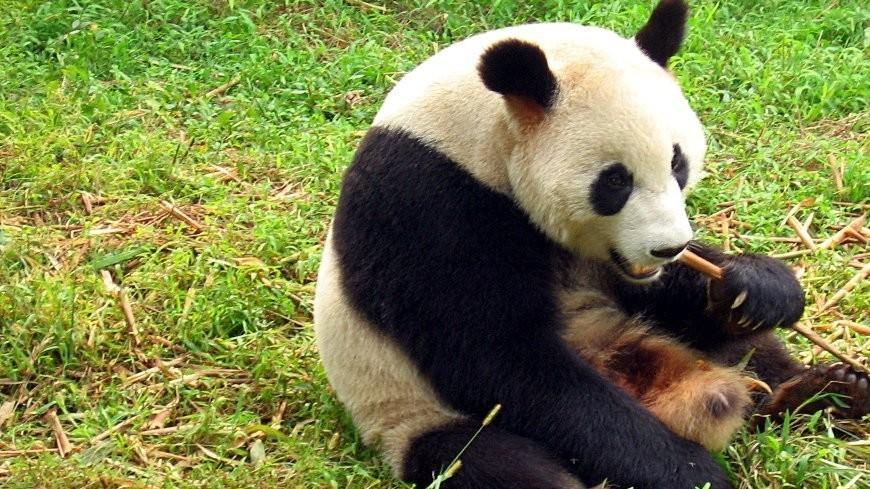 Бамбуковый медведь Гунгун назван «Самой любимой пандой Китая»