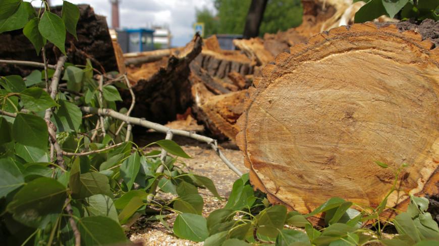 В Абакане шквалистый ветер повалил десятки деревьев