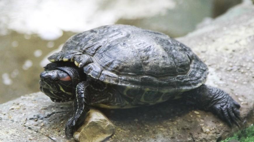 "Фото: Татьяна Константинова, ""«Мир24»"":http://mir24.tv/, черепаха"