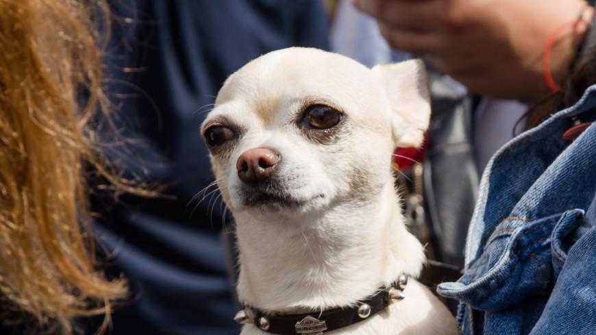 Фестиваль «Вся Грузия в одном Флаконе»,собака, чихуахуа,