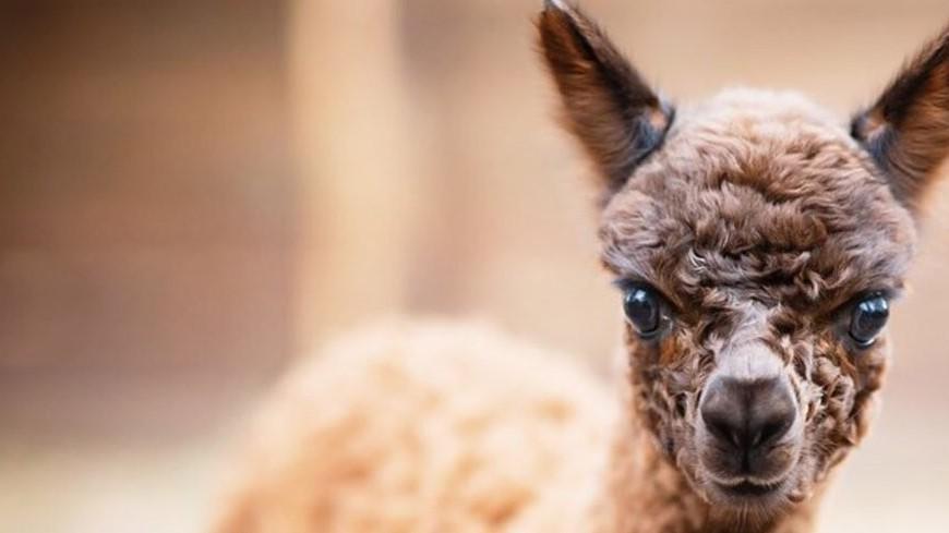 Москвичей попросили выбрать имя для детеныша альпака