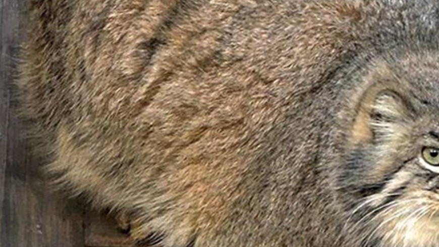 В Московский зоопарк переедет забайкальский манул