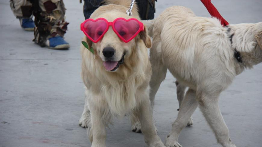 """Фото: Мария Чегляева, """"«МИР 24»"""":http://mir24.tv/, собак, собаки, веселые собаки, модные собаки, собака, очки, прогулка с собакой, выгул собак"""