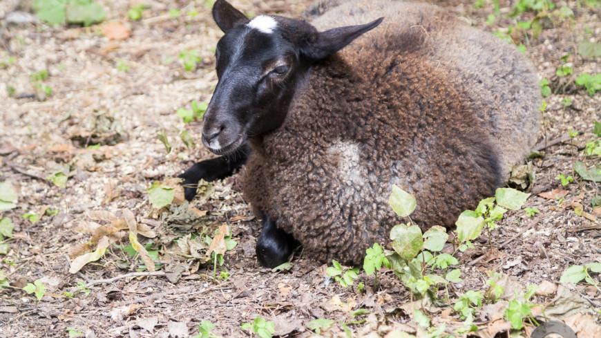 Роботы-собаки научились пасти овец