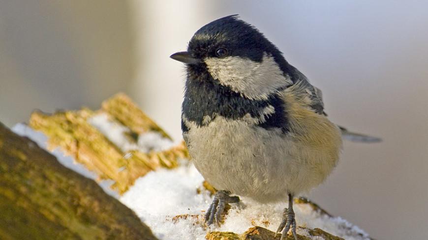 Птицы разных видов способны понимать «речь» друг друга