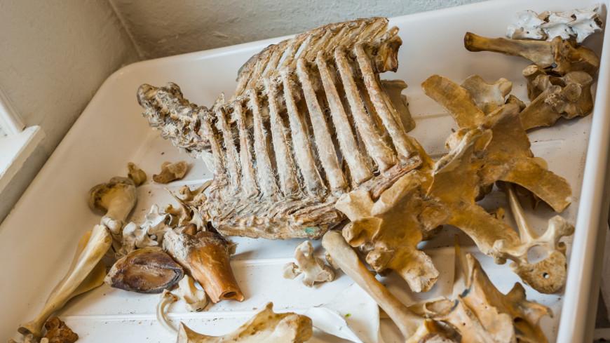 В Австралии нашли кости редкого динозавра-вегетарианца